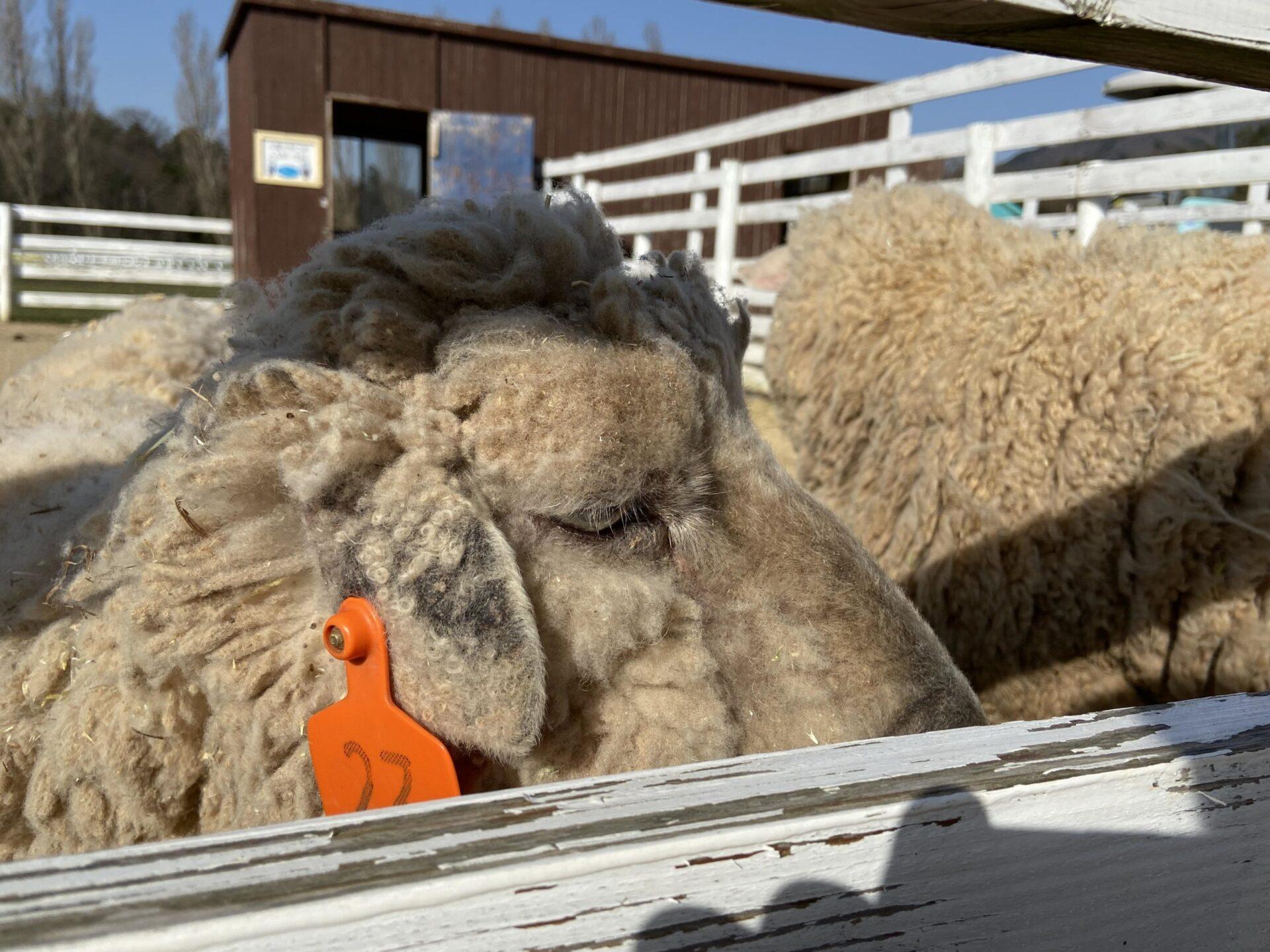ブルーメの丘 羊